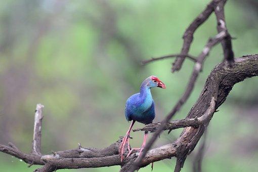 Nature, Bird, Animal, Wildlife, Grey-headed Swamphen
