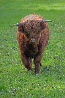 Pasture, Cow, Cattle, Beef Cattle, Highland Cattle