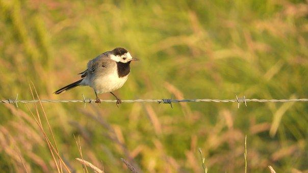 Animal, Bird, White Wagtail, Motacilla Alba