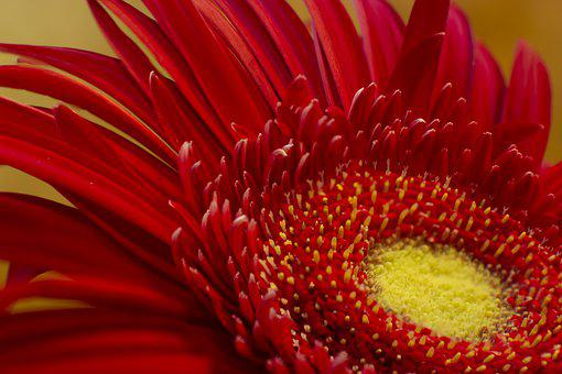 Flower, Gerbera, Red, Petals, Pollen, Bloom, Blossom