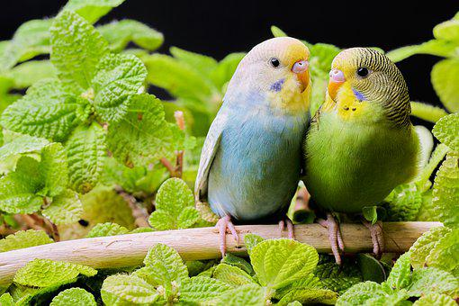 Parakeets, Birds, Budgie, Branch, Leaves, Foliage, Pair
