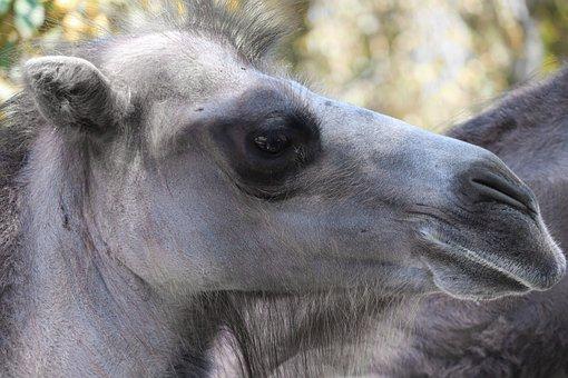 Camel, Animal, Camelus Ferus, Wild Bactrian Camel