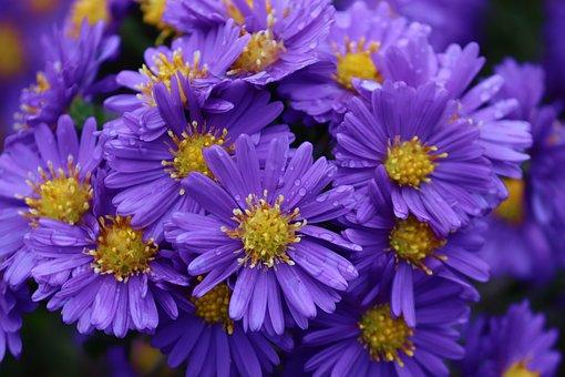 Garden, Flowers, Dew, Dewdrops, Droplets, Asters