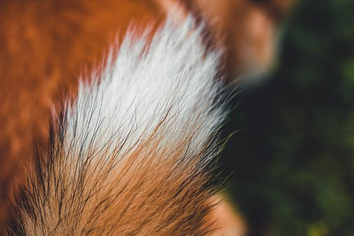 Tail, Dog, Fur, Corgi, Furry, Pet, Animal, Closeup