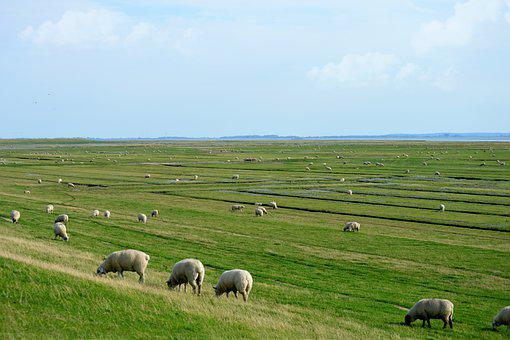 Sheep, Lamb, Flock Of Sheep, Grass, Landscape