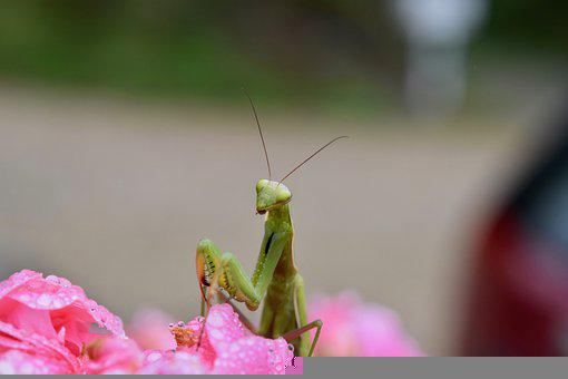 European Mantis, Mantis-religiosa, Insect, Green Insect