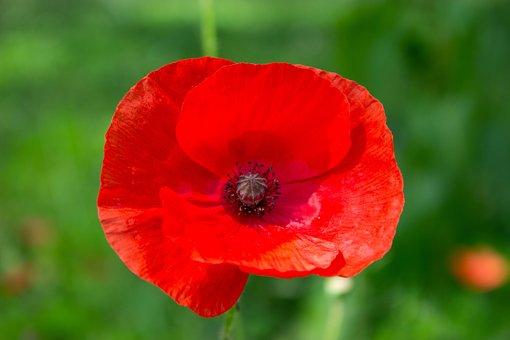 Meadow, Flower, Poppy, Common Poppy, Red Flower, Petals
