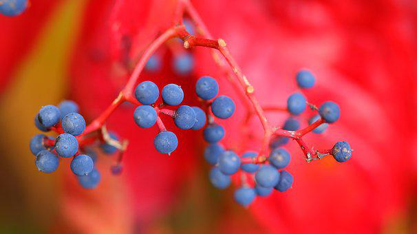 Berries, Plants, Leaves, Foliage, Forest, Fall