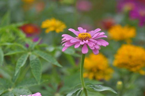 Daisy, Flower, Bloom, Blossom, Purple Flower, Flora