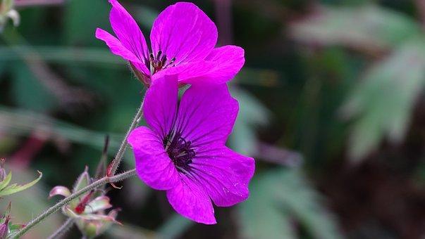 Garden, Flowers, Petals, Purple Flowers, Geranium