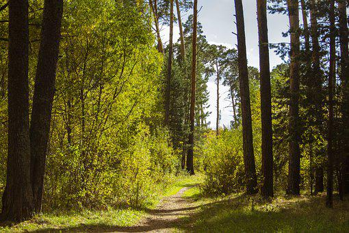 Forest, Road, Pine Trees, Trail, Path, Way, Trees