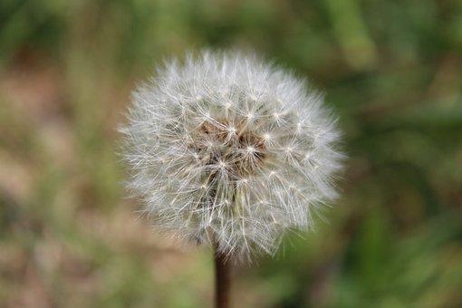 Dandelion, Seeds, Plant, Weed, Fluffy, Flora, Taraxacum