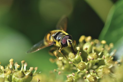 Garden, Buds, Hoverfly, Insect, Flower Fly, Syrphid Fly