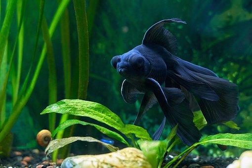 Aquarium, Fish, Animal, Black Fish, Telescope Fish