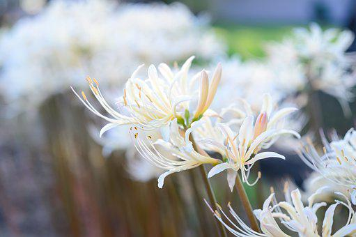 Garden, Flowers, White Spider Lilies, White Flowers