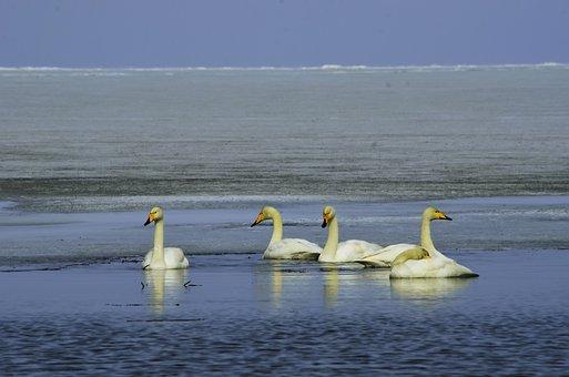 Swan, In, Bosten, Lake, Xinjiang