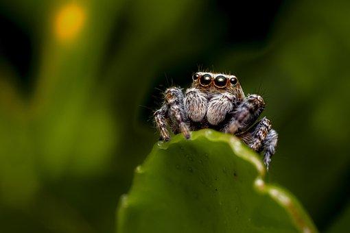 Leaf, Spider, Zebra Spider, Jumping Spider, Arachnid