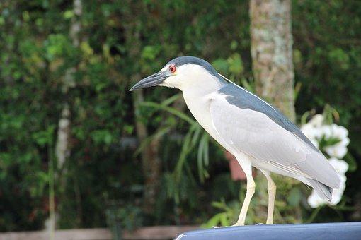 Animal, Bird, Heron, Night Heron