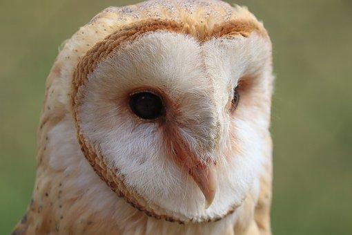 Barn Owl, Owl, Bird, Bill, Feathers, Plumage, Tyto Alba