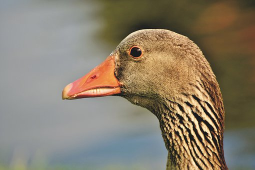 Goose, Greylag Goose, Bird, Poultry, Water Bird, Bill