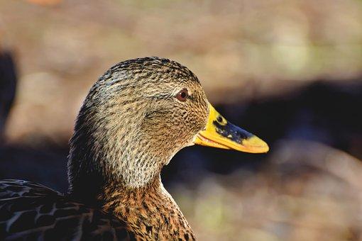 Duck, Mallard, Bird, Water Bird, Poultry, Bill