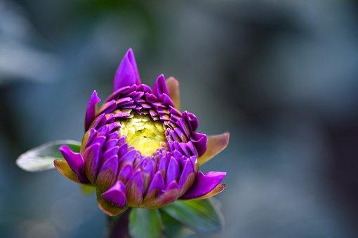 Flower, Petals, Blooming, Blossoming, Purple Petals