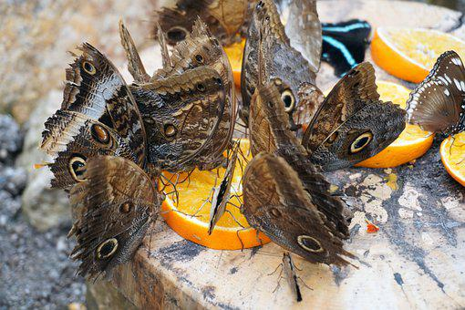 Butterflies, Feeding, Orange, Orange Slices