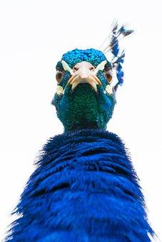 Bird, Peacock, Feathers, Beak, Animal, Colorful, Detail