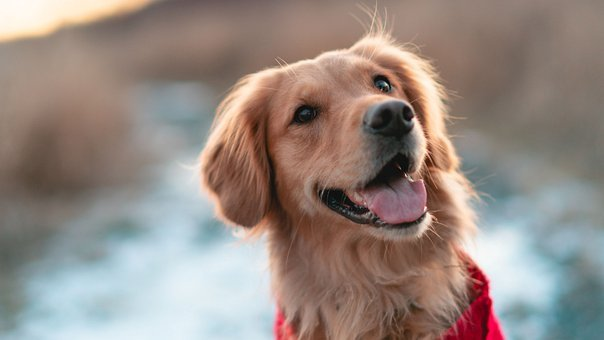 Dog, Golden Retriever, Pet, Happy, Doggy, Canine