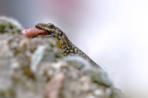 Lizard, Reptile, Animal, Nature, Fauna, Predator