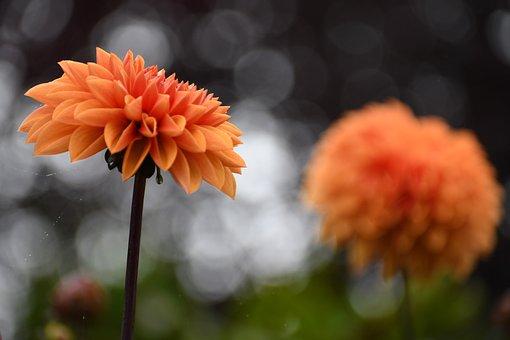 Garden, Flower, Dahlia, Orange Flower, Bloom, Blossom