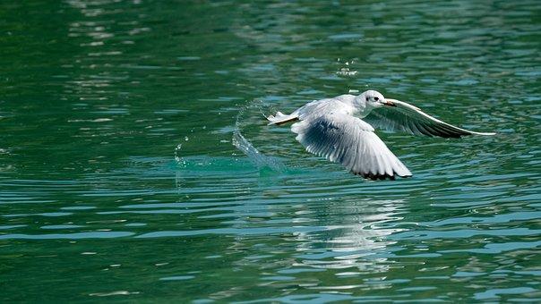 Seagull, Flying, Lake, Bird, Gull, Black Headed Gull