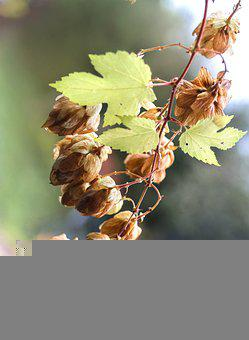Plant, Hops, Cones, Leaves, Foliage, Branch, Fruits