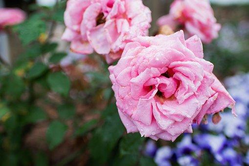 Garden, Flower, Dew, Dewdrops, Droplets, Pink Flower