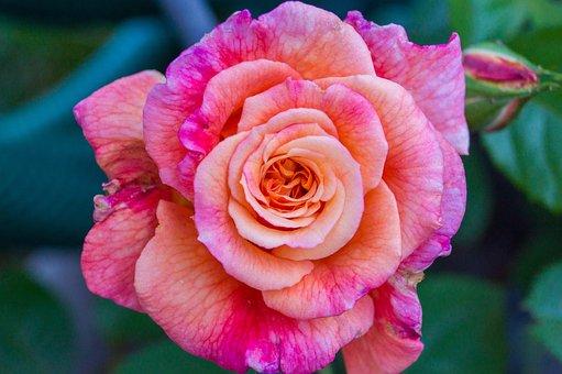 Garden, Flower, Rose, Petals, Pink Flower, Bloom