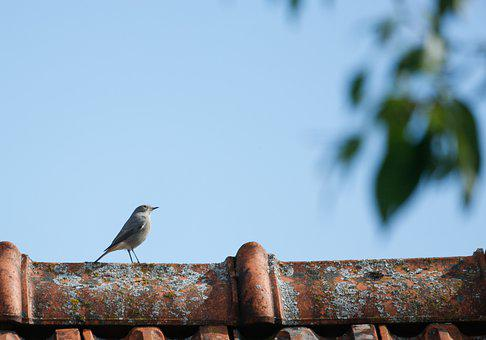 Bird, White Wagtail, Perched, Roof, Nature
