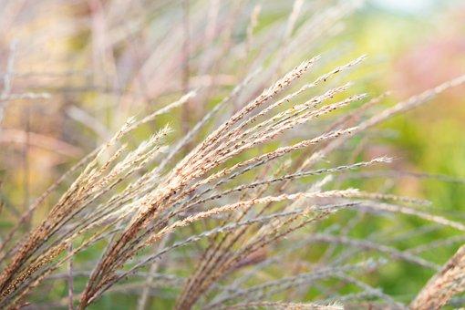 Meadow, Grass, Plant, Foliage, Amur Silvergrass, Flora