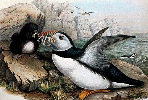 Puffin, Birds, Beak, Feathers, Plumage