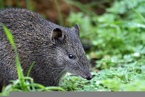 Rodent, Quenda, Marsupial, Bandicoot, Isoodon Obesulus