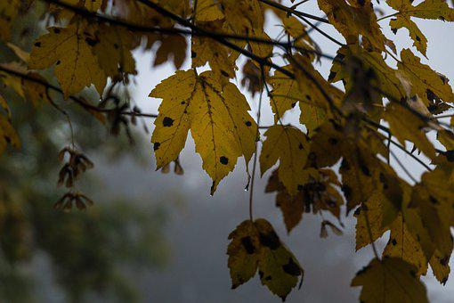Leaves, Autumn, Rain, Fog, Fall Foliage, Tree