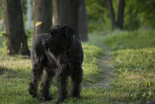 Giant Schnauzer, Dog, Path, Walk, Forest, Black Dog