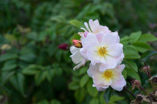 Flowers, White Flowers, Bloom, Blossom, Flora