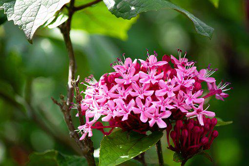 Clerodendrum Bungei, Flowers, Shrub, Bloom, Blossom