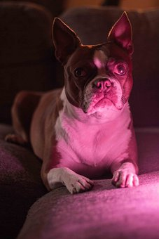 Dog, Canine, Boston Terrier, Puppy, Pet, Domestic