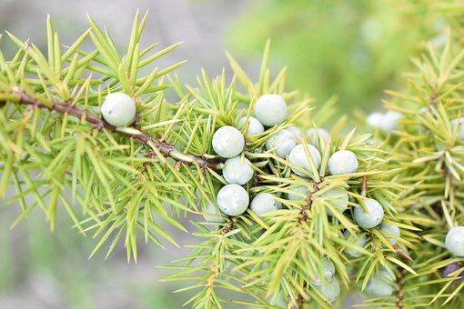 Nature, Tree, Juniper, Common Juniper, Branch, Fruits