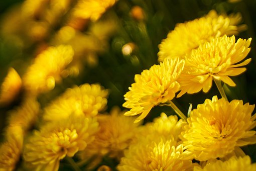 Chrysanthemums, Yellow Flowers, Bloom, Blossom, Flora