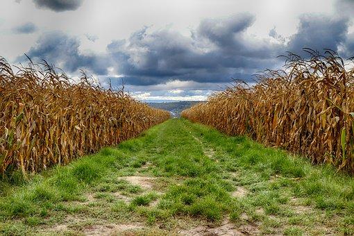 Cornfield, Farm, Road, Path, Crop, Cropland, Field