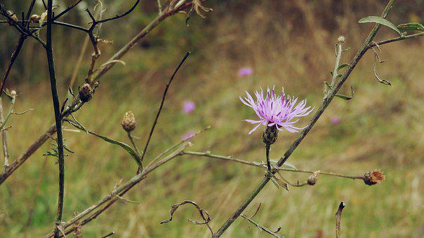 Meadow, Plant, Flower, Stem, Spotted Knapweed