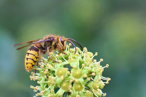 Wasp, Insect, Forage, Winged, Pollinate, Pollination