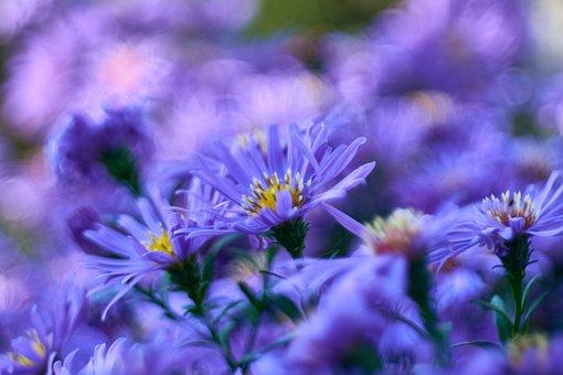 Asters, Flowers, Garden, Purple Flowers, Purple Asters